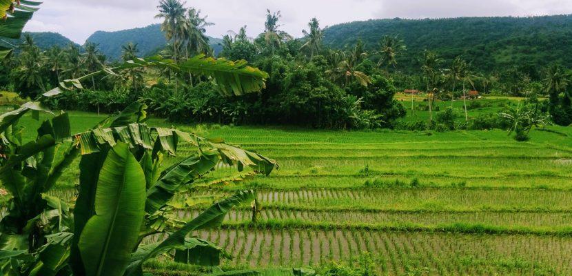 Bali - Ubud - risaie