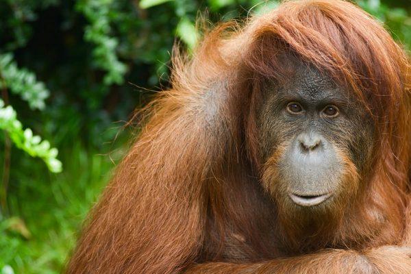 63S- orangutan a sumatra