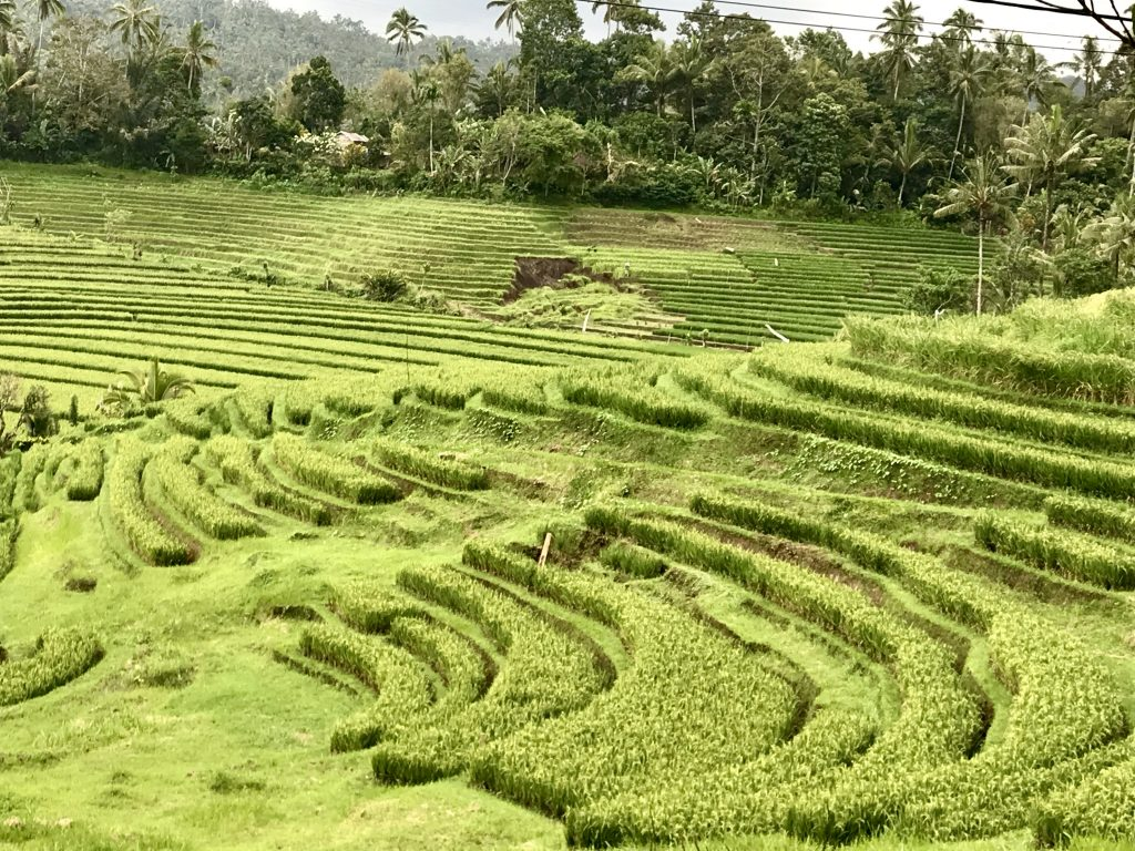 Bali - risaie - Ubud